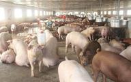"""Thấp thỏm dịch tả lợn châu Phi: Dân miền Nam bán lợn """"chạy dịch"""""""