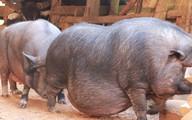 Lợn to như bò, lông to như que tăm, răng nanh dài cả gang ở Yên Bái