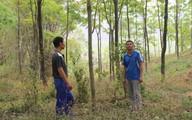 """Sơn La và nỗi buồn mang tên """"vàng trắng"""" (3):Chuyện nhặt dưới tán rừng cao su"""