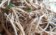 Thu lãi gần 2 tỷ đồng mỗi năm từ trồng sâm dây