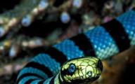 Nhóm cụ bà lặn biển phát hiện ổ rắn độc quý hiếm