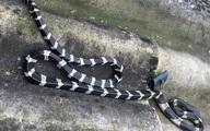 Thương tâm bé trai 22 ngày tuổi bị rắn độc cắn tử vong khi đang nằm trên giường