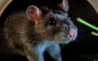 Nhét cục bông có thấm loại nước này ở những chỗ chuột hay chạy qua, sau vài ngày bạn sẽ không còn thấy bóng dáng chúng