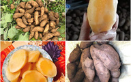 Loại củ lạ giống hệt khoai lang, vào mùa chị em lùng mua bằng được vì nấu món gì cũng vừa ngon, vừa bổ