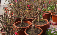 Đào lùn Trung Quốc gắn mác đào Thất Thốn bán đầy chợ hoa, giá rẻ đến bất ngờ