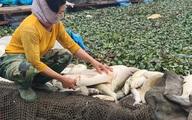 """Cá nuôi chết trắng trên sông Cầu: Do """"dòng nước đen"""" từ làng nghề giấy?"""