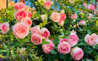 Khu vườn muôn hoa khoe sắc tỏa hương của mẹ Việt thức đêm chăm cây