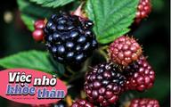 Loại trái cây nhập khẩu thì đắt đỏ nhưng lại mọc hoang đầy ở Việt Nam nếu sáng nào cũng ăn thì cơ thể nhận được 5 lợi ích không tưởng