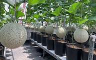 Vườn dưa lưới hữu cơ trên sân thượng với trái to đều tăm tắp ai nhìn cũng mê của cặp vợ chồng trẻ Sài Gòn
