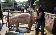 Giá lợn hơi bắt đáy của năm, nhiều hộ chăn nuôi 'treo' chuồng