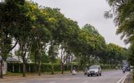 Hoa điệp vàng nở rực rỡ khắp đường phố Hà Nội