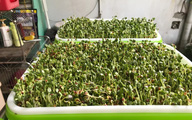 Khó khăn mới mua được rau, tôi liền bỏ 250K tậu bộ kit tự trồng rau mầm luôn và cái kết là đây