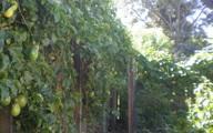 """Thứ quả giải khát mùa hè trồng khắp hàng rào ở Việt Nam sang nước ngoài được xem là """"dược vương"""" được săn lùng"""