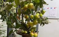 """Cành táo mèo trĩu quả được chị em Hà Thành mua về cắm, vừa ngắm vừa ăn, tiểu thương """"cháy hàng"""" không có bán"""