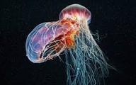 Tắm biển, bé trai bị sưng 'cậu nhỏ' vì sứa