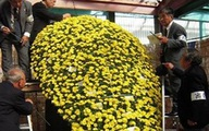 Kỳ lạ cây cúc nở hơn 4.000 bông