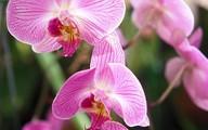 Tuyệt chiêu chăm sóc phong lan đẹp mỹ miều