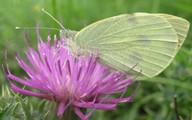 Ngắm những loài bướm tuyệt đẹp của nước Anh