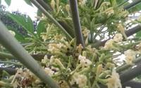 Hoa đu đủ đực: Loại hoa trước đây vứt đi nay được gom bán tiền triệu/kg