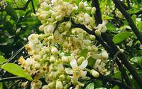 Hoa bưởi vào mùa không chỉ là lễ vật dâng cúng Phật mà còn mang nhiều giá trị ít ai biết