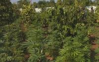 Đường dây trồng cần sa quy mô lớn ở 5 địa điểm với hơn 1.900 cây
