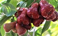 """Vị thuốc quý từ hoa quả (4): """"Bí mật"""" về loại quả mọng nước, vị ngọt thanh mát có thể bạn chưa biết"""