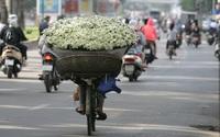 Cúc họa mi tinh khôi giữa lòng phố phường Hà Nội