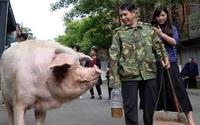Những ngày cuối đời của chú lợn biểu tượng sức mạnh ở Trung Quốc