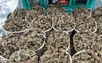 """Hàu sữa Quảng Ninh """"ruột béo múp"""" rớt giá chỉ 20 nghìn/kg bán tấp nập trên chợ mạng"""