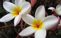 Điều trị huyết áp cao bằng hoa