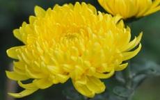 Làm đẹp dưỡng nhan bằng lẩu hoa cúc giống Từ Hy Thái Hậu, bạn đã biết chưa?