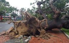 Tiếc nuối cây xà cừ số 13 cổ nhất tại Huế bị cơn bão số 13 đổ bật cả gốc