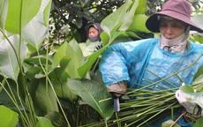Ngôi làng cổ 400 năm trồng lá dong ở Hà Nội, người dân 'hái lá đếm tiền'