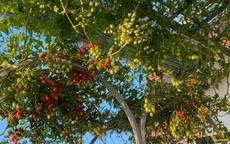 Bí quyết trồng cà chua thu hoạch mỏi tay không hết quả của bà mẹ đảm Đà Nẵng