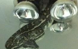 Hãi hùng nhìn thấy con rắn khổng lồ lơ lửng trên trần nhà tắm