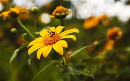 Lung linh vàng nắng mùa Dã Quỳ