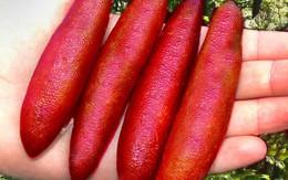 Hạt giống chanh hình ngón tay: Có tiền cũng khó mua