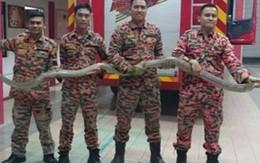 Kinh hoàng phát hiện rắn hổ mang dài 12 mét trong nhà