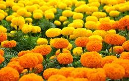 4 vị thuốc quý từ hoa ngày Tết