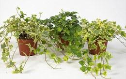 9 loại cây cảnh dễ trồng mang lại điềm lành cho gia chủ