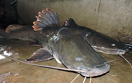 Câu được hai con cá lăng khổng lồ trên sông Sêrêpôk