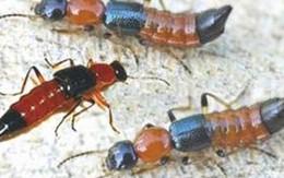 Điện Biên: Nhiều giáo viên, học sinh bị phỏng rộp, viêm da do kiến ba khoang