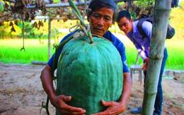 Bí đao khổng lồ hơn 50kg mỗi trái ở Bình Định