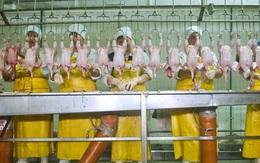 Chuyện lạ công nhân làm gà phải đóng bỉm vì nguyên nhân này