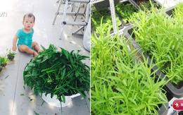 Học cách trồng rau muống lên tốt ngập như rau của vợ chồng Lý Hải - Minh Hà