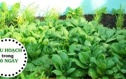 """Chi tiết cách trồng rau cải lên """"vùn vụt"""" ăn mỏi miệng suốt mùa đông"""
