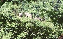 Đàn voi rừng xuất hiện ở Quảng Nam