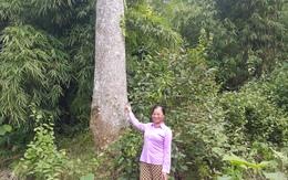 Chuyện đời người bảo vệ 20 cây nghiến nghìn năm tuổi