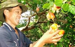 Vì sao hạt điều Việt Nam xuất khẩu lớn nhất thế giới nhưng lại là 'cây của người nghèo'?