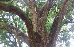 Hai cây xoài trăm tuổi cho thu nhập 100 triệu đồng/năm